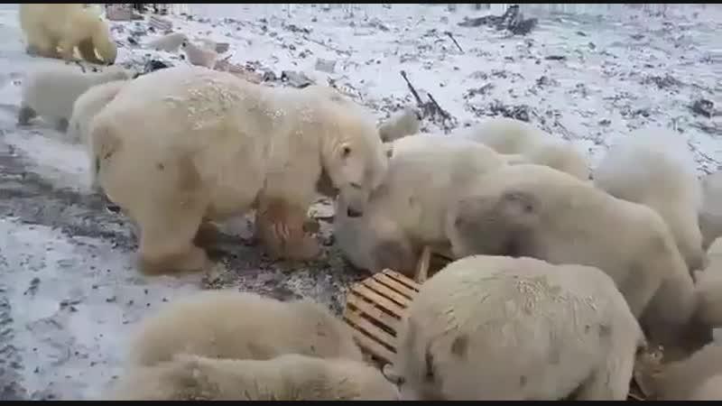 В этой Белушьей Губе такое нашествие белых медведей потому что люди живут там как свиньи в одной большой куче мусора