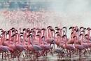 Тысячи розовых фламинго на озере Накуру