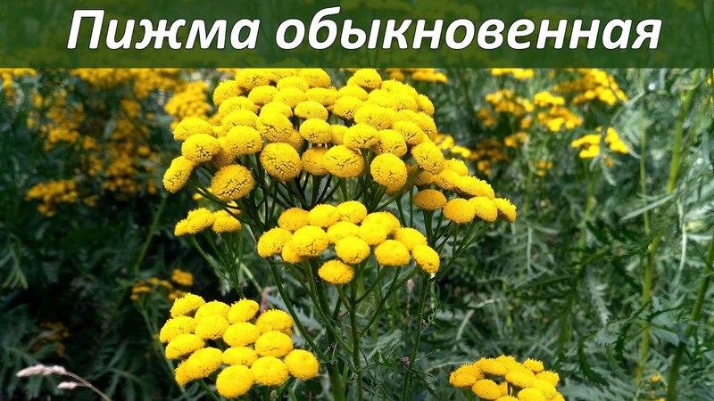 Лекарственные растения - пижма обыкновенная