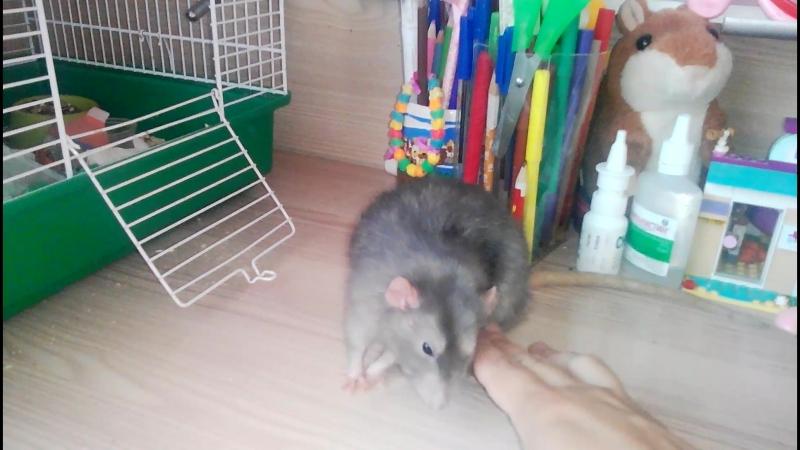 Наш крысёныш Чуи уже ему два года, а казалось только купили этого маленького пушистика, крысенка.