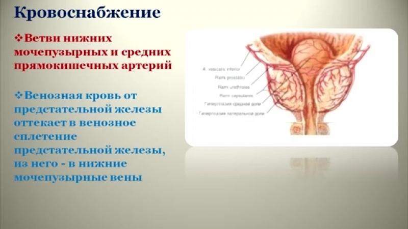 Мужские половые органы топография, строение, кровоснабжение