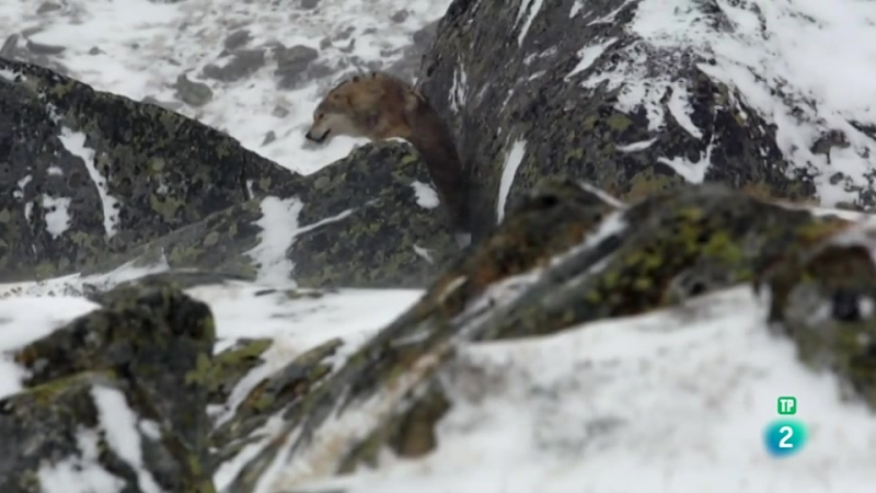 Grandes documentales - Lobos errantes, 2ª parte