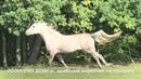 Продажа лошадей арабской породы конефермы Эквилайн, тел., WhatsApp 79883400208 (ЛОЭНГРИН2016г.р.