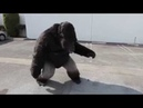 Colossus Gorilla Suit by Animal Makers