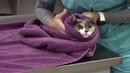 Удержание кошки для пункции подкожной латеральной вены Cephalic Venipuncture Restraint Feline