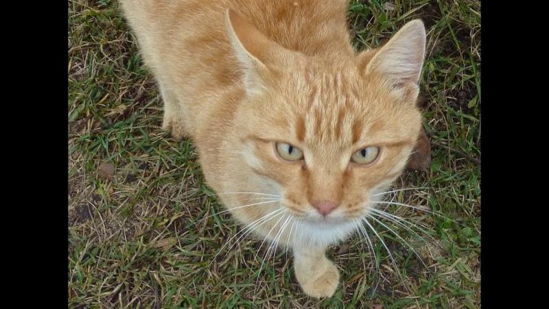 Рыжий кот Музыка кота