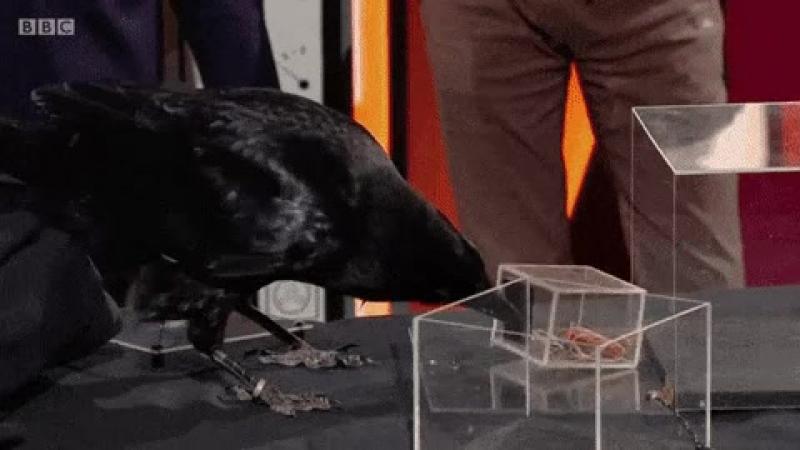 Вороны очень умные птицы