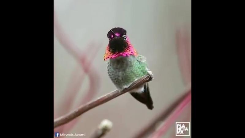 Колибри. перья меняются с изменением света ( El Colibrí de Anaquot tiene coloridas plumas)