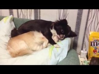 Вот такая у нас собачья любовь. Мока и Джек .