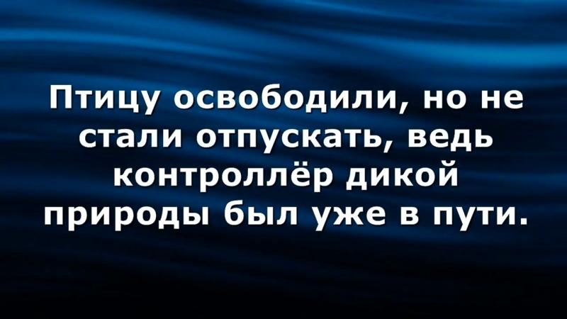 🔴Голова сокола застряла в решётке радиатора.mp4