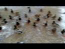 Кормление уток в Бутово