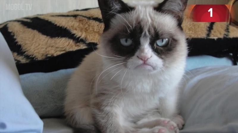 СЕРДИТЫЙ КОТ. ТОП 5 самых известных кошек интернета