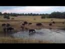 Нильский крокодил убивает буйвола Nile crocodile kills buffalo