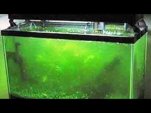 Зеленеют стенки аквариума ? Лучшее средство для отчистки стекл аквариума улитка теодоксус