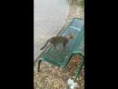 нахальные кошки задирают таксу Мотю!