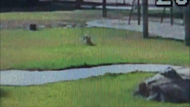 Нападение койота(ов) на маленькую собаку