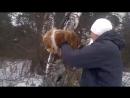 Охота риджбека на льва - часть 2