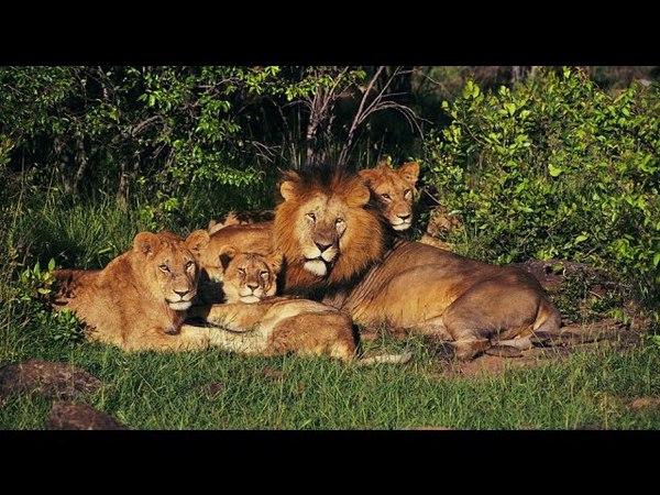 Интересный фильм Львы Документальный фильм про львов канала NatGeoWild