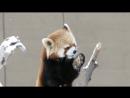 Красная панда и первый снег