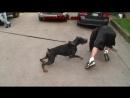 Doberman Attack Training (K9-