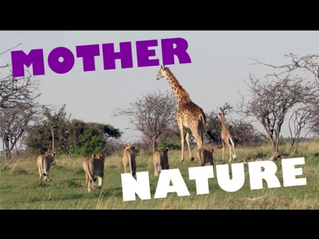 MOTHERS PROTECTING and SAVING their BABIES Animal Compilation