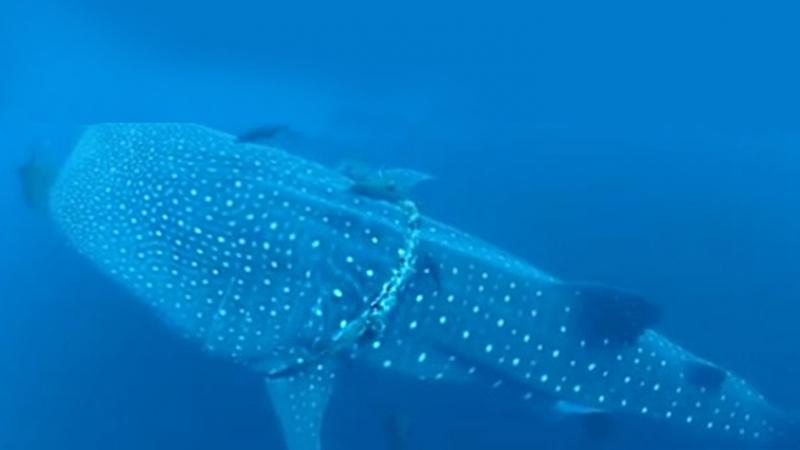 Китовая акула застряла в канате оставленным людьми Океан стал свалкой мусора