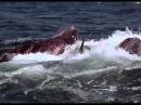 касатки жестоко убивают огромного кита