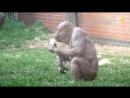 безволосый шимпанзе-качек--молодец 22 года прожил))