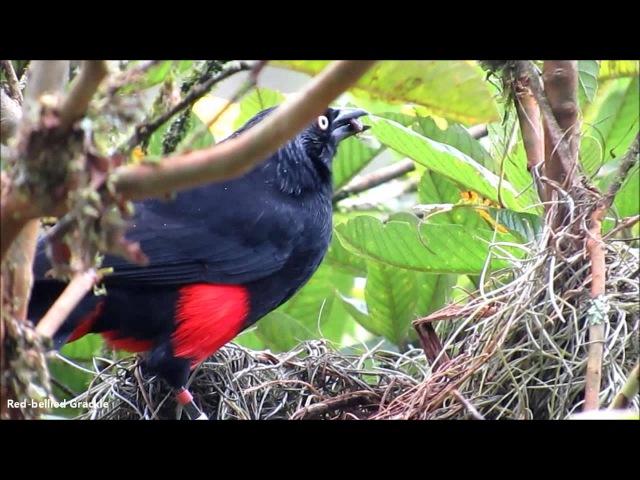 Red-bellied grackle / Краснобрюхий трупиал / Hypopyrrhus pyrohypogaster