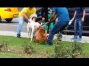 Питбуль подрался с другой собакой