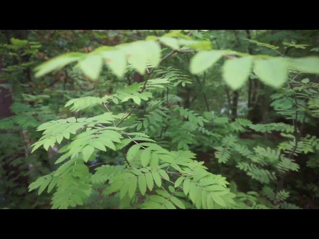 Звуки живой природы,певчая пташка в лесу MAH06260