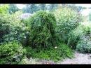 Плакучий можевельник украшение сада