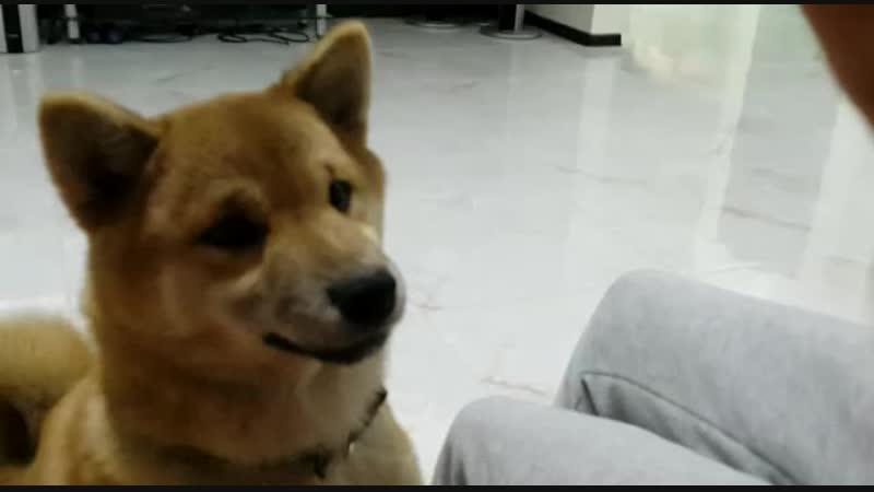 собака лает на спинер ржач