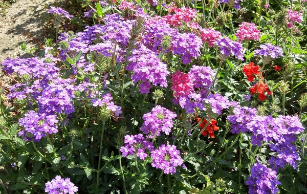 Вербена от посева до цветения.