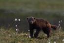 «Гиена севера, Скунс-медведь, Лесной демон, Обжора» - как только не называют это животное.